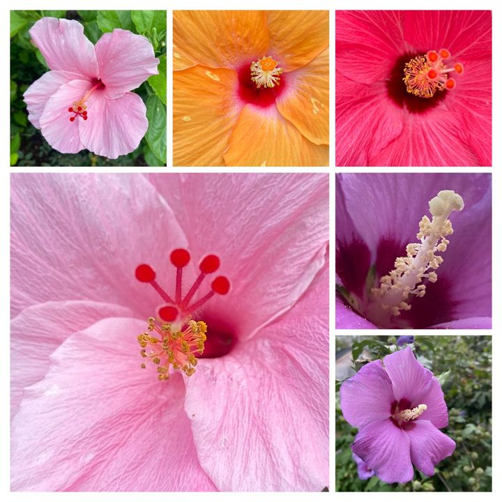 Hibiscus collection - Navahfleur