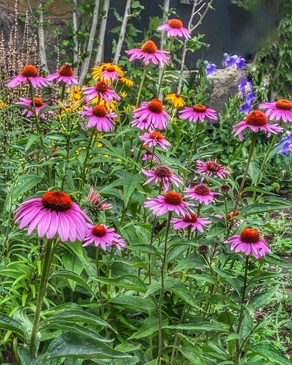 The garden mix - pink black eye susa - Navahfleur