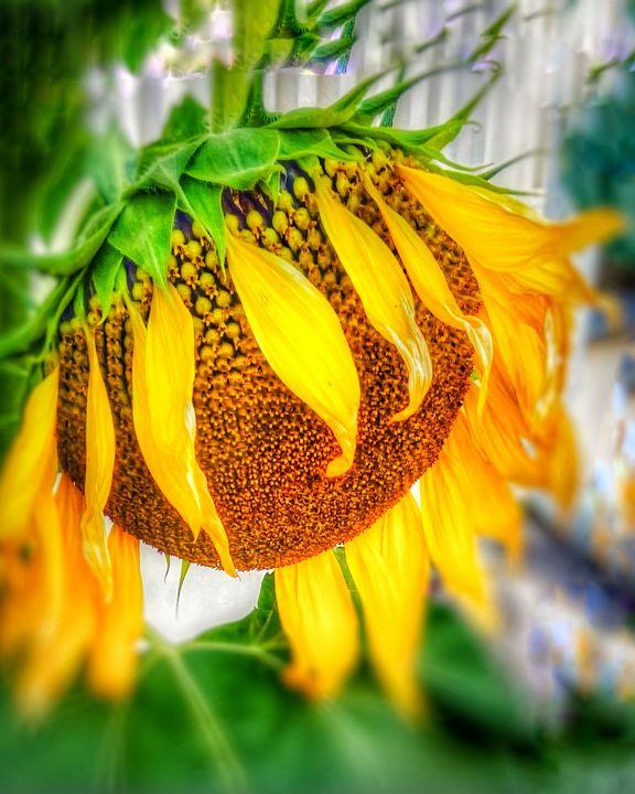 Sun flower glory - Navahfleur