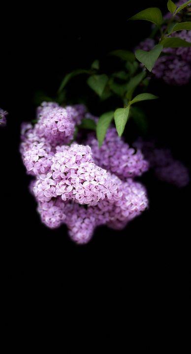 Lavender bliss - Navahfleur