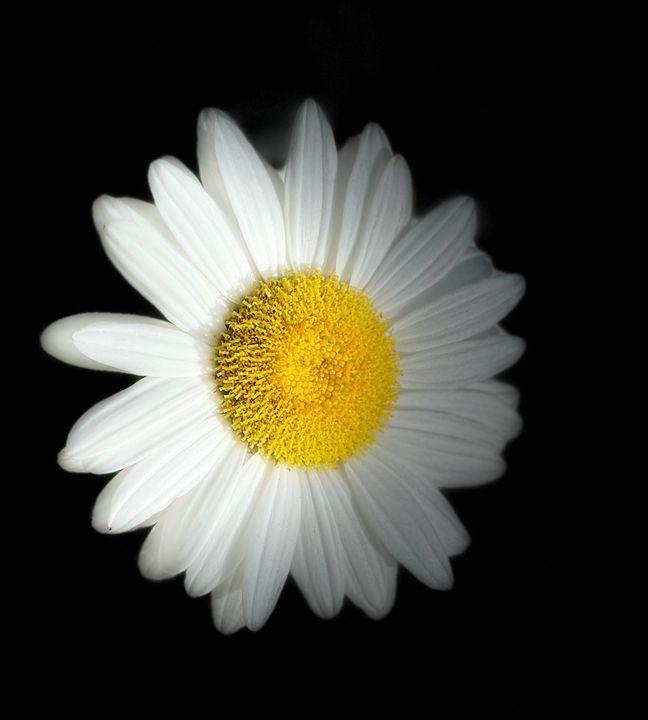 English daisy - Navahfleur