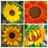 Sun flowers collage