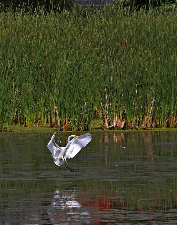 Great Egret Landing - DC Photography