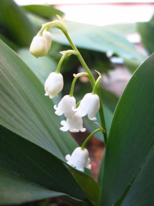 Lily of the Valley - Lia-Marie's Design Studio