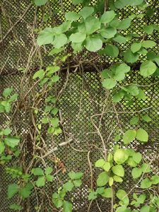 Vines and Fence