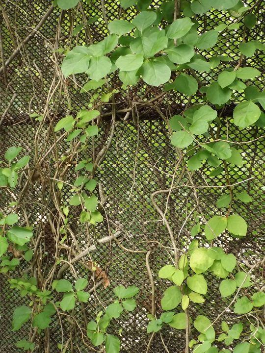Vines and Fence -  Heatherback59