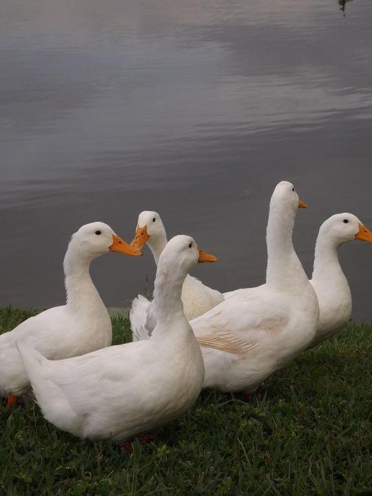 Ducks by the Condos -  Heatherback59