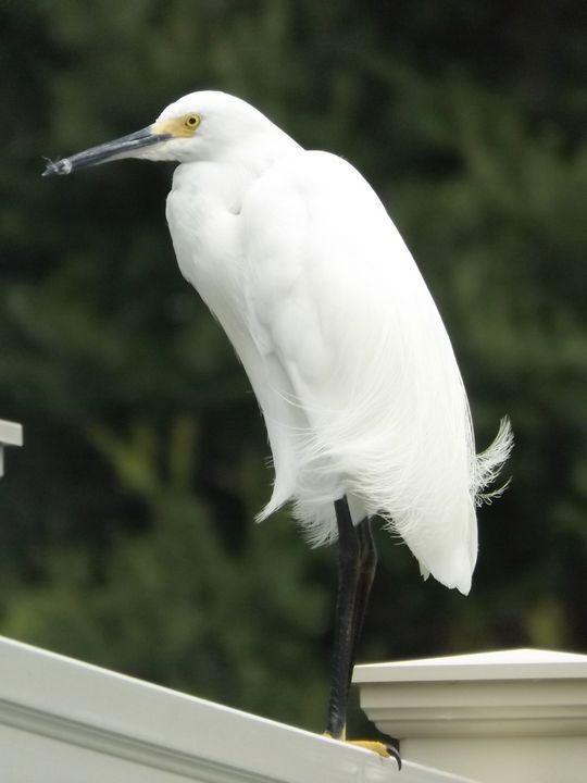 Great White Bird -  Heatherback59