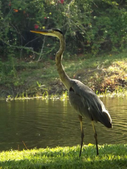 Grey Heron -  Heatherback59