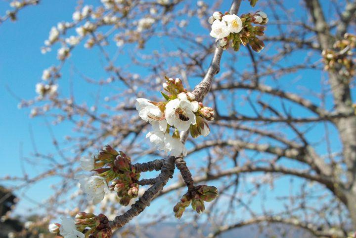 Almond blossom - Dream Light