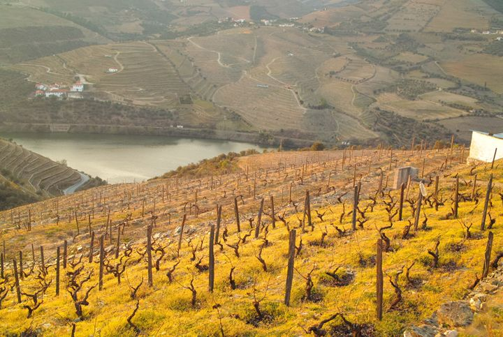 Spring Vineyard, Douro river - Dream Light