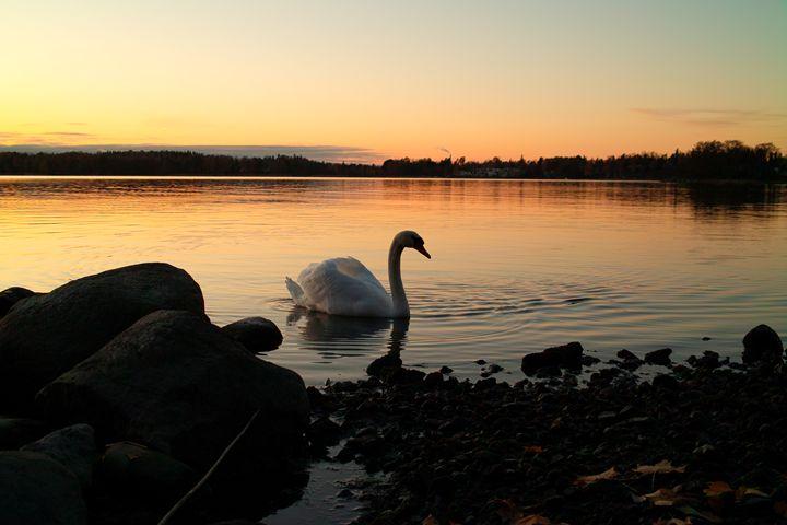 The Sunset Swan - Dream Light