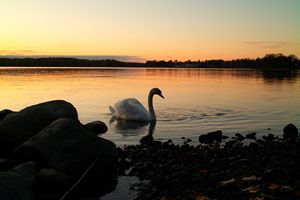 The Sunset Swan