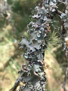 Oak lichen