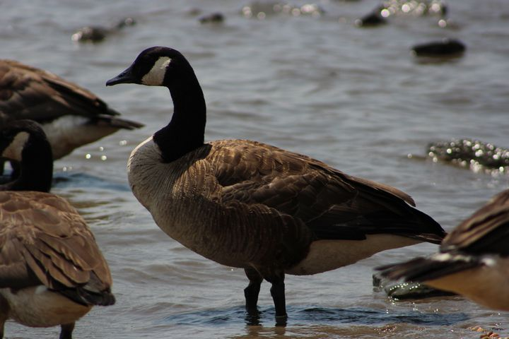 Canadian Goose - Ivory Courts