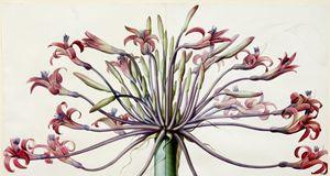 AfricanAmaryllis Lily