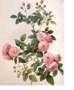 Multifloribunda Pink Rose