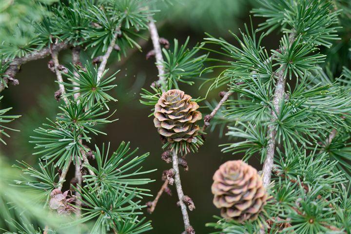 Pine Cone - Through the lens
