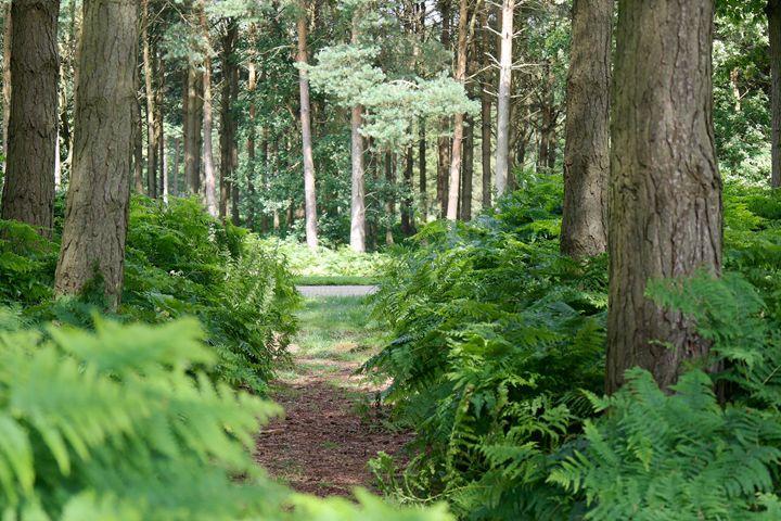 Pine forrest - Through the lens