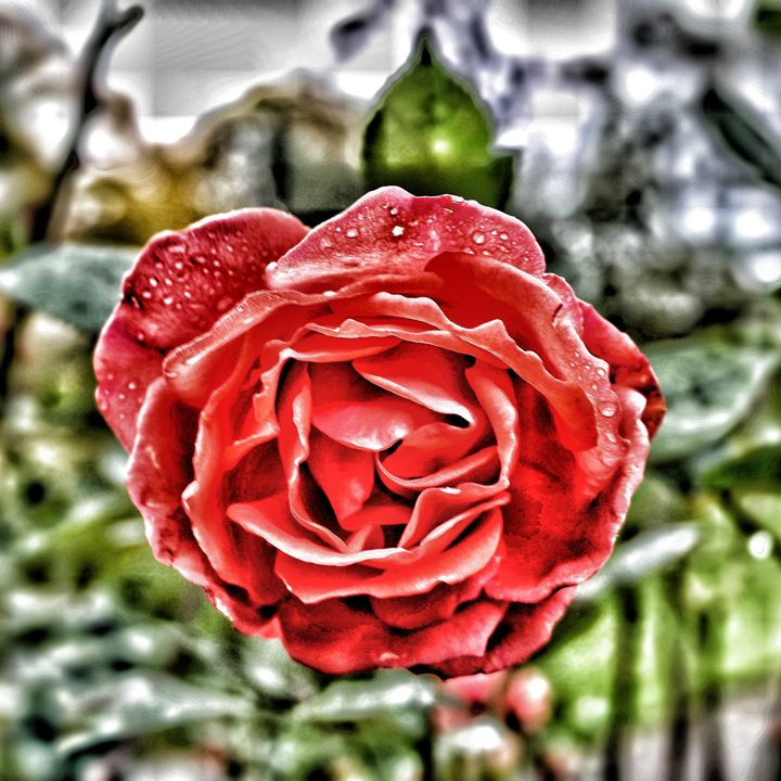 RED RED ROSE - Through the lens