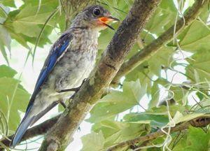 Blue Bird - Barbee's Photography