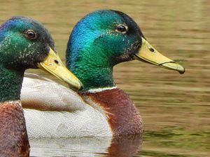 Ducks Side by Side - Barbee's Photography