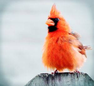 Baby Cardinal - Barbee's Photography
