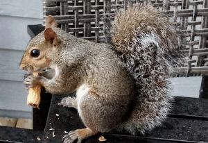 Trixie Pet Squirrel - Barbee's Photography
