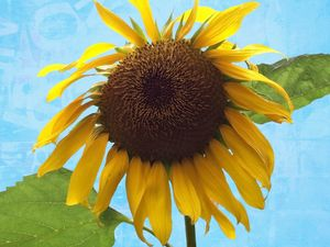 Bright Large Sun Flower