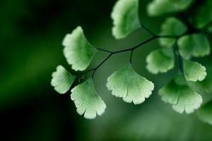Ginkgoba Green