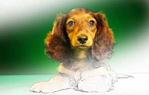 Dachshund - Animal Art