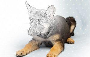 Shepard Puppy - Animal Art