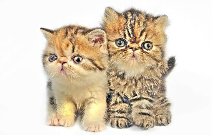 Persian Littens - Animal Art