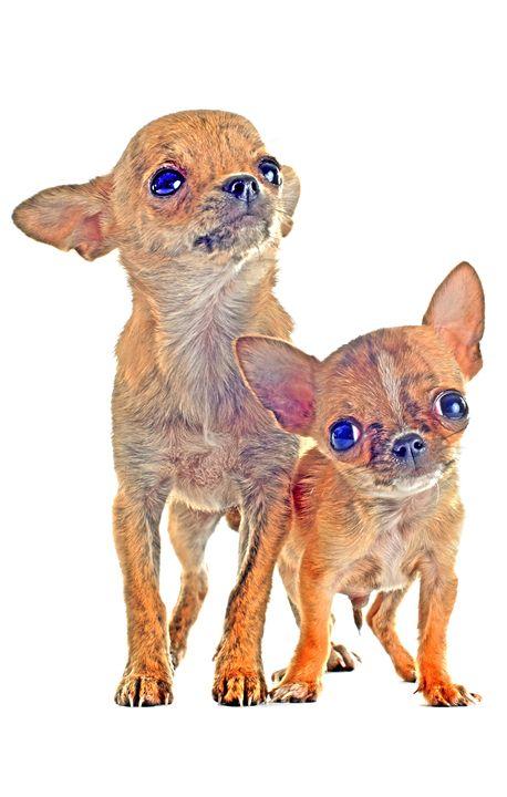 Chihuahua Puppies - Animal Art