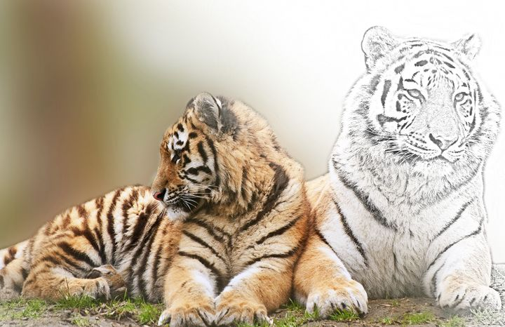 Tiger and Cub - Animal Art