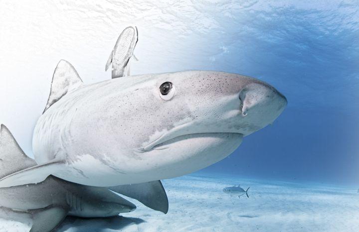 Shark - Animal Art