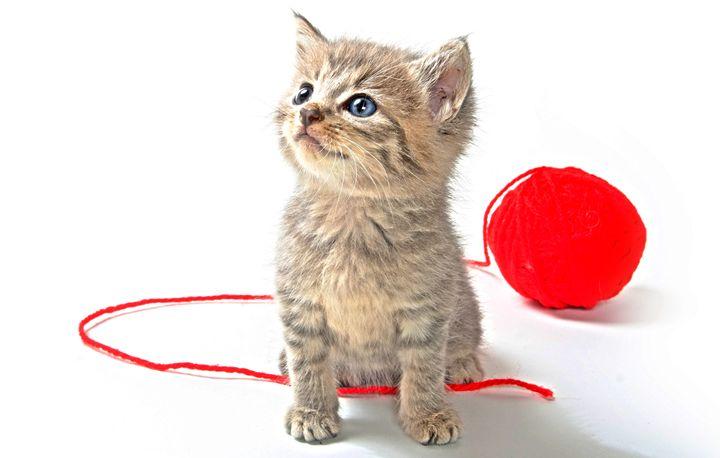Tabby Kitten - Animal Art