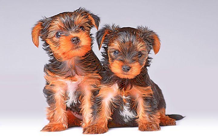 Yorkshire Terriers - Animal Art