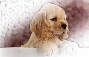 Cocker Spaniel Puppy - Animal Art