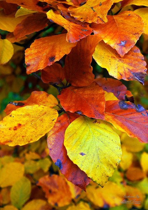 Autumn Leaves - Lionel Fraser, Pictures of Eastbourne, England