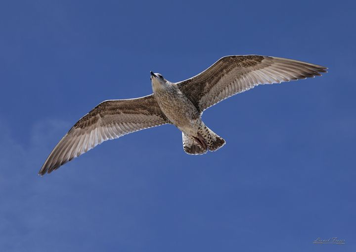 Seagull Flying - Lionel Fraser, Pictures of Eastbourne, England