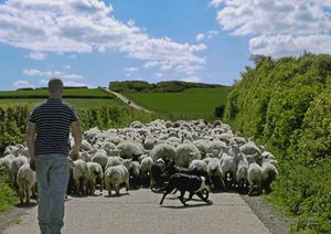 Farmer herding his sheep down a lane