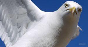 Hawk like seagull