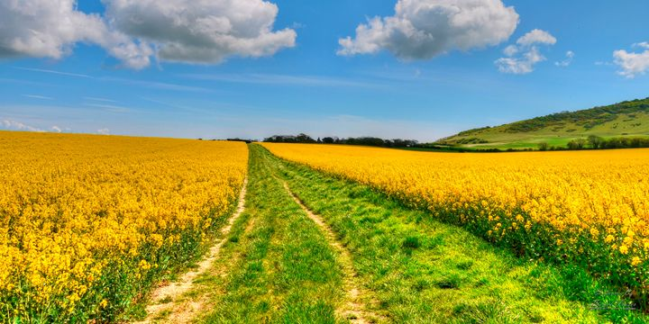 Yellow Rapeseed field HDR - Lionel Fraser, Pictures of Eastbourne, England