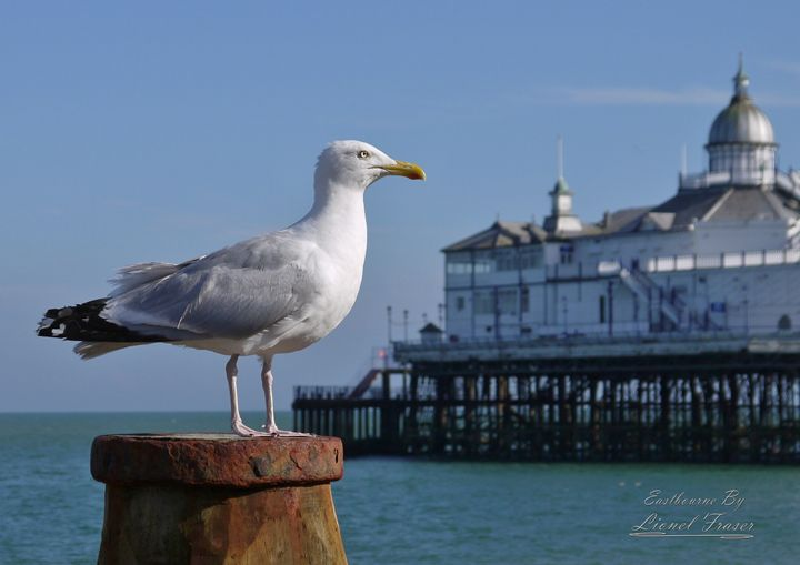 Seagull on Beach Groyne Pier - Lionel Fraser, Pictures of Eastbourne, England