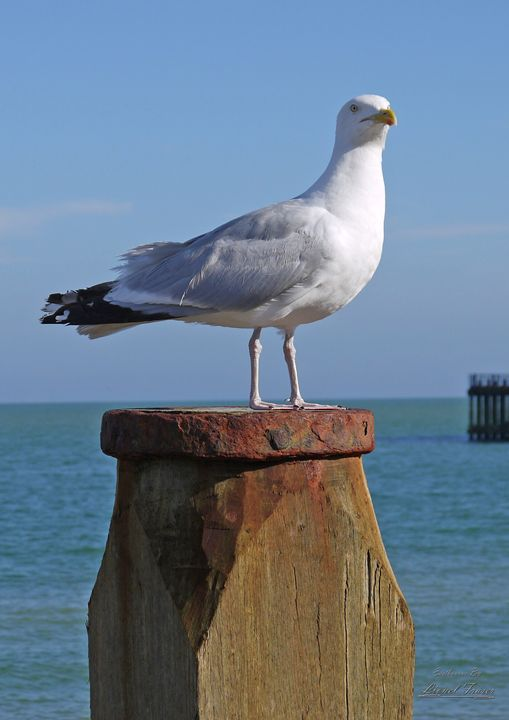 Seagull on Beach Groyne - Lionel Fraser, Pictures of Eastbourne, England