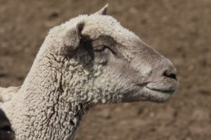 lamby lamby - Rancho