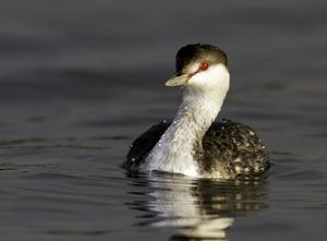 Horned Grebe Winter Plumage