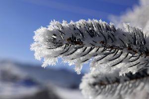 Ice on pine branch. - Ely Greenhut
