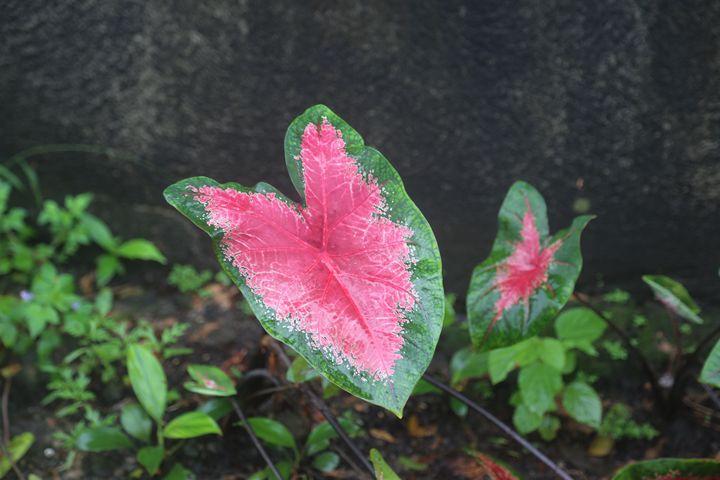 Caladium leaf - Ely Greenhut